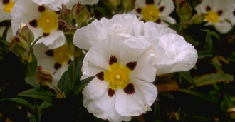 Rotsroos - Cistus x florentinus