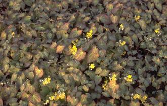 Elfenbloem - Epimedium x Perralchicum 'Frohnleiten'