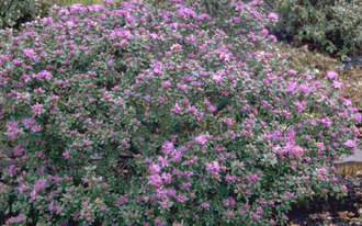 Rododendron - Rhododendron hippophaeoides