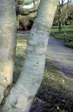 Berk - Betula ermanii 'Blush'