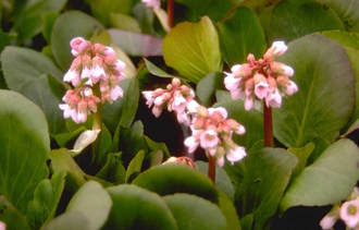 Schoenlappersplant - Bergenia 'Bressingham Salmon'