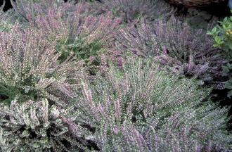 Knopbloeiende heide - Calluna vulgaris 'Anette'