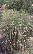 Vingergras - Panicum virgatum 'Rehbraun'