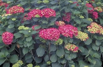 Hortensia - Hydrangea macrophylla 'Leuchtfeuer'