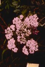 Gewoon duizendblad - Achillea millefolium 'Natalie'
