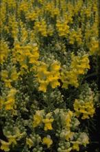 Grote leeuwenbek - Antirrhinum majus 'Coronette Yellow'