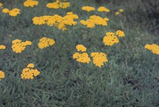 Duizendblad - Achillea tomentosa 'Grandiflora'