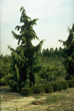Nootka cipres - Chamaecyparis nootkatensis 'Pendula'