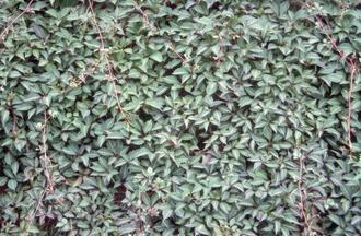 Wingerd - Parthenocissus henryi