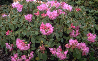 Rododendron - Rhododendron 'Linda'