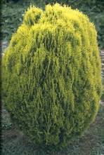 Oosterse levensboom - Thuja orientalis 'Aurea Nana'