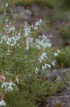 Driebladige braakwortelspirea - Gillenia trifoliata