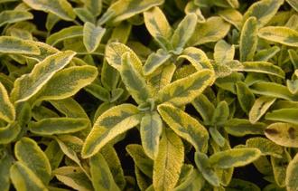 Echte salie - Salvia officinalis 'Icterina'