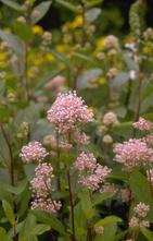 Herfstsering - Ceanothus x pallidus 'Marie Simon'