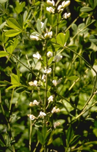 Indigolupine - Baptisia lactea