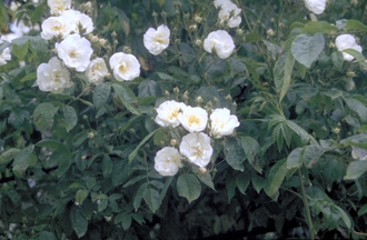 Ramblerroos - Rosa 'Bobbie James'