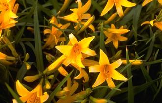 Daglelie - Hemerocallis 'Orangeman'