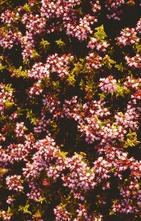 Wilde marjolein - Origanum vulgare 'Compactum'