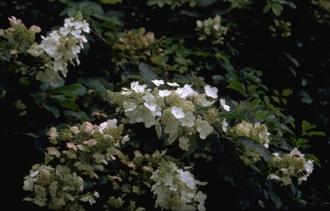 Pluimhortensia - Hydrangea paniculata 'Floribunda'
