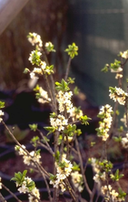 Rood peperboompje - Daphne mezereum f. alba