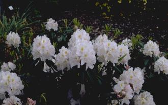 Rododendron - Rhododendron 'Catawbiense Album'