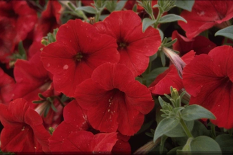 Petunia 'Polo Red'