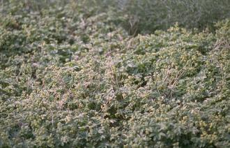 Vrouwenmantel - Alchemilla alpina