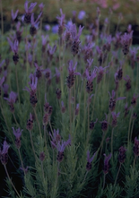 Franse lavendel - Lavandula stoechas subsp. pedunculata