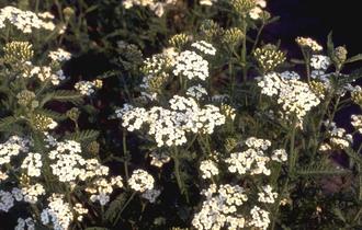 Gewoon duizendblad - Achillea millefolium