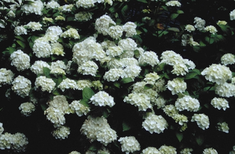 Hortensia - Hydrangea macrophylla 'Mme E. Mouilliere