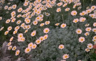 Schubkamille - Anthemis carpatica 'Karpatenschnee'