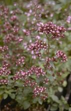 Marjolein - Origanum laevigatum 'Hopleys'
