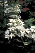 Pluimhortensia - Hydrangea paniculata 'Starlight Fantasy'