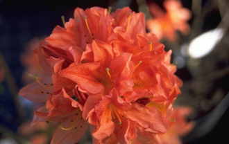 Rododendron - Rhododendron 'Mrs Peter Koster'