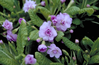 StengellozeSleutelbloem - Primula vulgaris 'Quackers Bonnet'