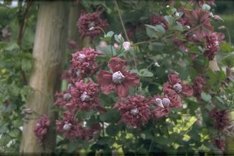 ItaliaanseClematis - Clematis viticella 'Purpurea Plena Elegans'