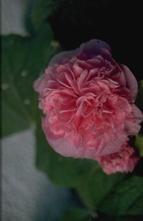 Stokroos - Alcea rosea 'Pleniflora' roze