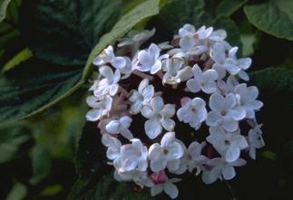 Sneeuwbal - Viburnum Carlesii