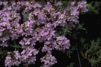 Tijm - Thymus broussonetii