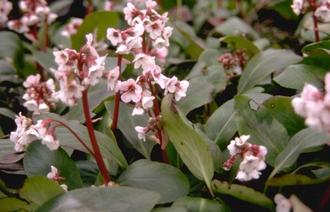 Schoenlappersplant - Bergenia 'Silberlicht'