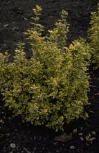 Japanse kardinaalsmuts - Euonymus fortunei 'Emerald 'n' Gold'
