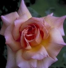 Grootbloemige klimroos - Rosa 'Compassion'