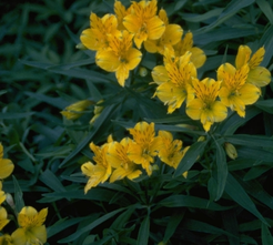 Peruviaanse lelie - Alstroemeria aurea 'Lutea'