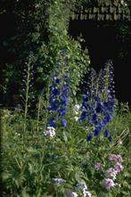 Ridderspoor - Delphinium 'Blauwal'