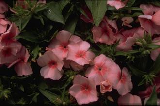 Beverboom - Magnolia sieboldii