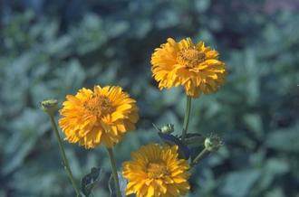 Zonneoog - Heliopsis helianthoides 'Summer Sun'