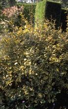Olijfwilg Elaeagnus x ebbingei 'Gilt Edge'