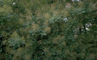 Pruikenboom - Cotinus coggygria