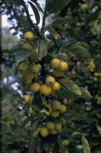 Sierappel - Malus 'Golden Hornet'