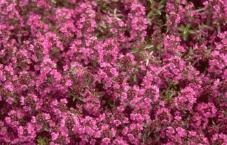 Kruiptijm - Thymus praecox 'Purple Beauty'